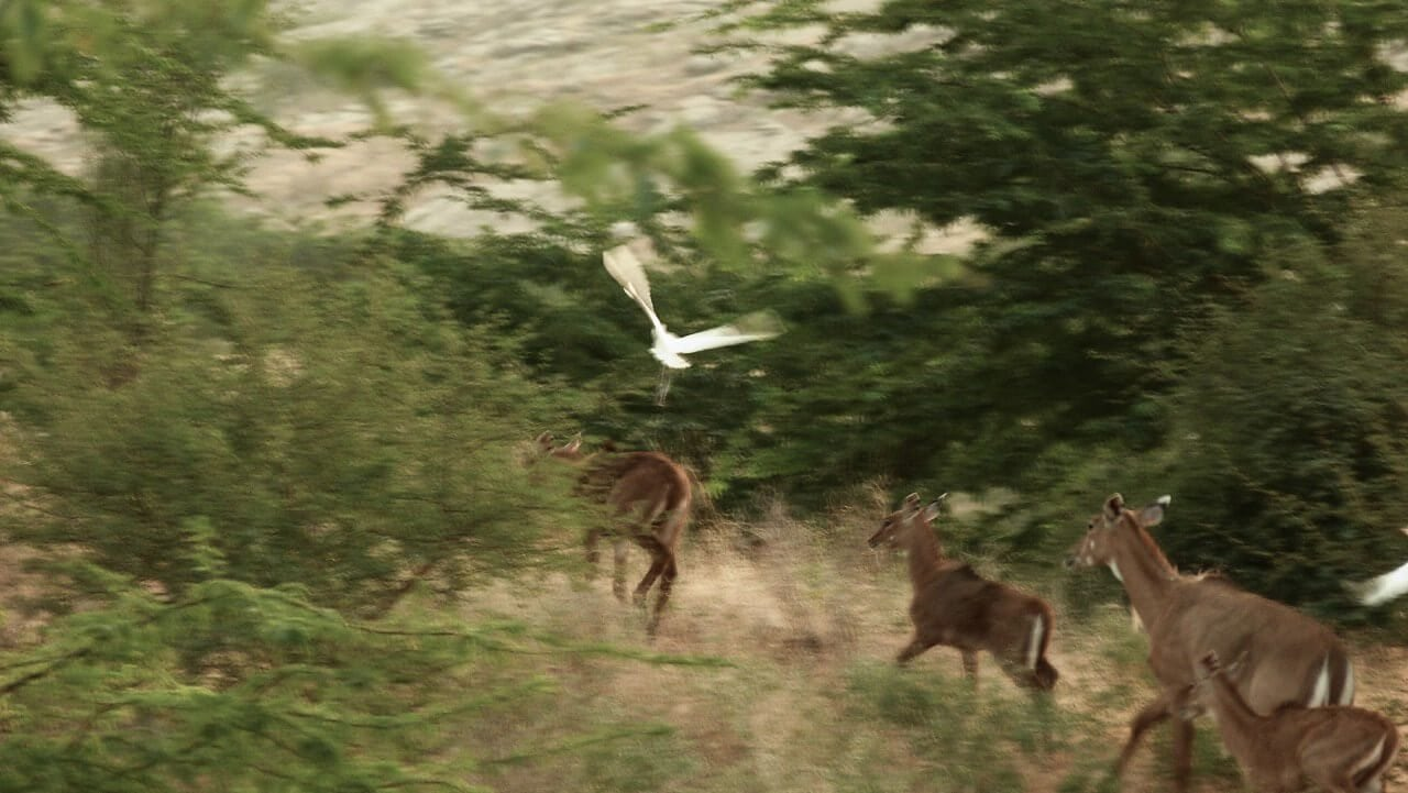 The scampering antelope family with the egret keeping it company